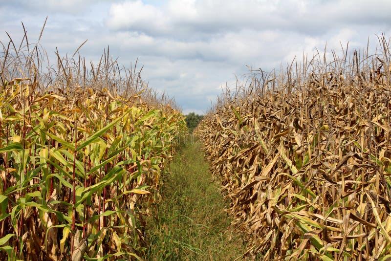 Dois campos de milho com ainda o verde e o lado maduro separados com fileira da grama sem cortes alta com o céu azul nebuloso no  imagem de stock