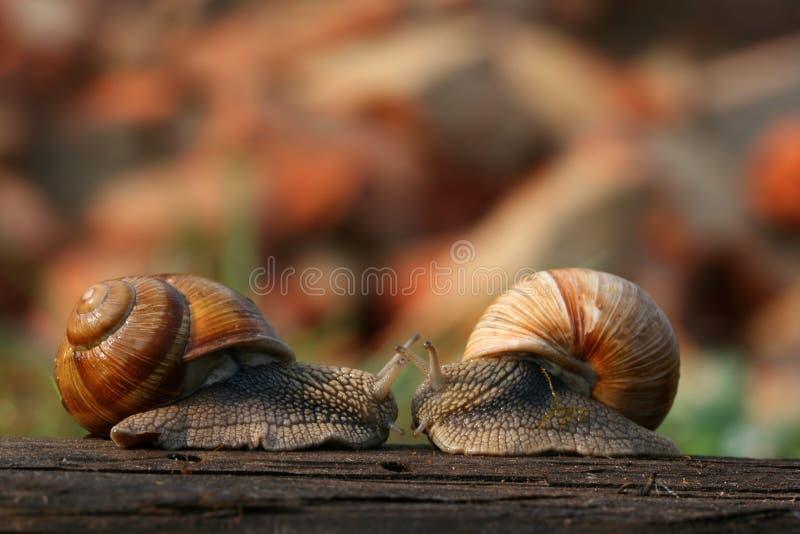 Dois caracóis fotografia de stock