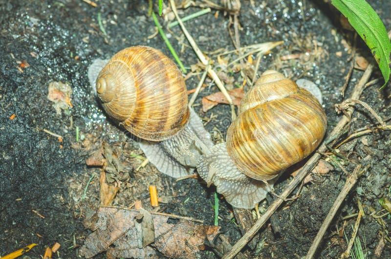 Dois caracóis de jardim comuns com shell ou casas que lutam na terra, fim do foco seletivo acima, vista de cima de imagens de stock