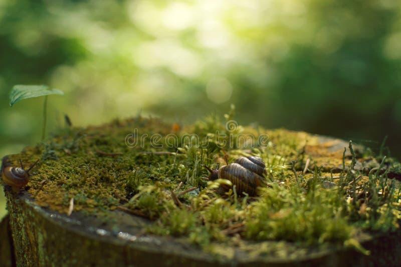 Dois caracóis rastejam ao longo de um grande coto, coberto com o musgo na floresta no amanhecer, no verão foto de stock royalty free