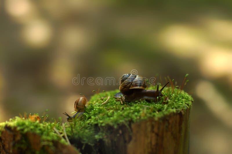 Dois caracóis rastejam em sentidos diferentes no amanhecer em um coto com musgo nas madeiras fotografia de stock royalty free