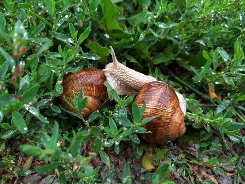 Dois caracóis vivos do vinho entre a grama molhada após a chuva Em Europa, os caracóis da uva são comidos imagens de stock