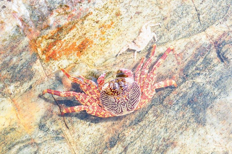 Dois caranguejos coloridos do Mar Vermelho na água pouco profunda imagem de stock