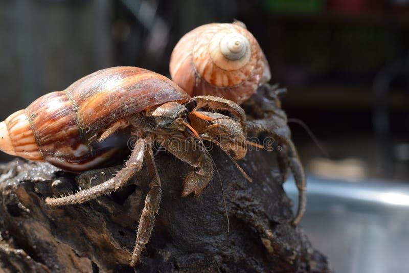 2 dois caranguejos de eremita encontraram sua maneira home no shell japonês preto do caracol fotografia de stock royalty free