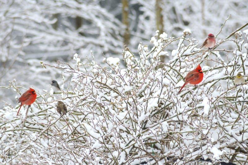 Dois cardeais masculinos vermelhos, Rosy Fitch, vara no arbusto nevado imagens de stock royalty free