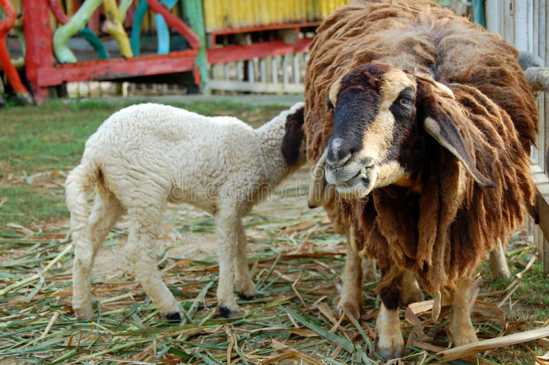 Dois carneiros. fotos de stock royalty free
