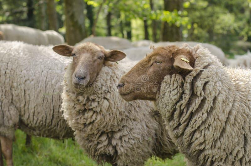 Dois carneiros fotos de stock royalty free