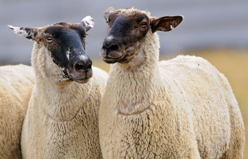 Dois carneiros (aries de Ovus) foto de stock