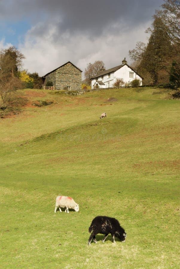 Dois carneiros, casas da quinta e celeiros de pastagem fotografia de stock royalty free