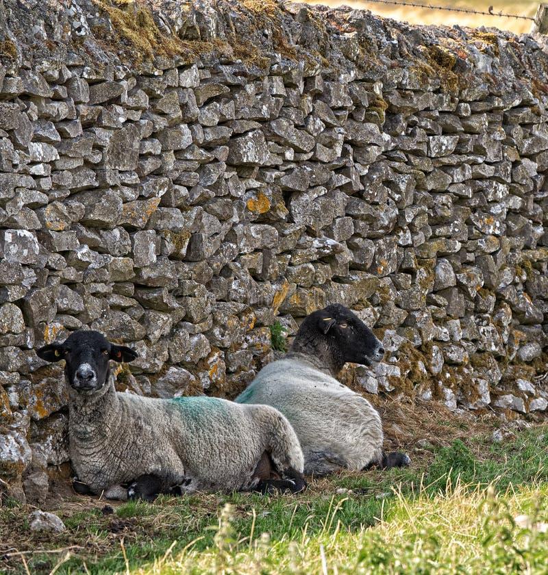Dois carneiros de cabeça negra do Suffolk, resto na máscara de uma parede de pedra seca fotografia de stock