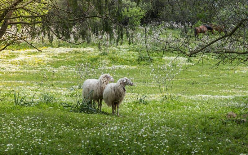 Dois carneiros de sardinia no campo em sardinia fotografia de stock