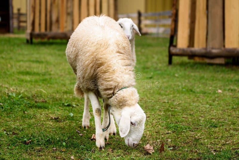 Dois carneiros em um JARDIM ZOOLÓGICO de trocas de carícias pequeno da cidade fotografia de stock