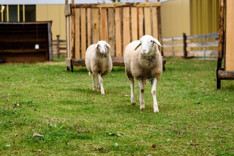 Dois carneiros em um JARDIM ZOOLÓGICO de trocas de carícias pequeno da cidade imagens de stock