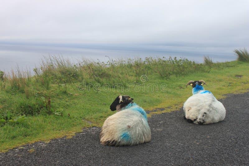 Dois carneiros na Irlanda fotografia de stock royalty free