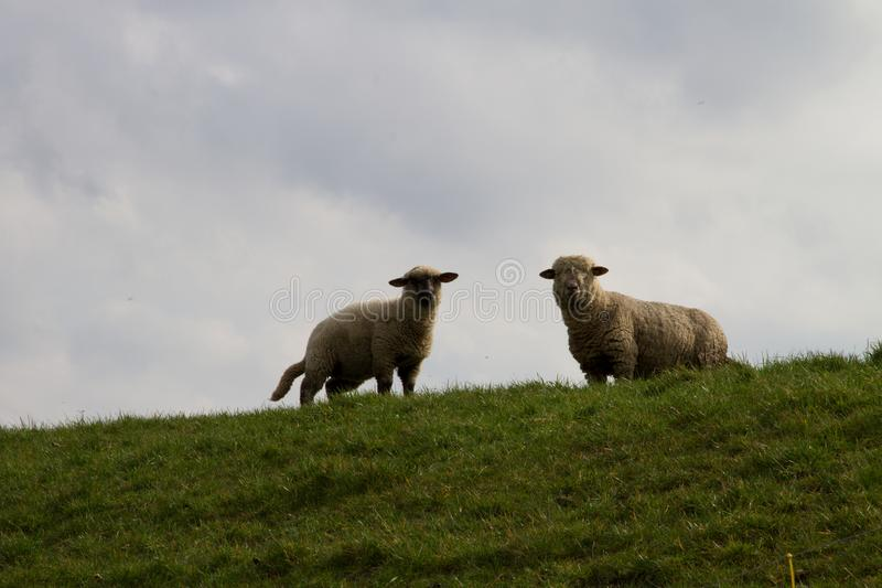 Dois carneiros que estão na pastagem com um céu nebuloso no fundo imagem de stock