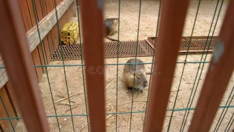 Dois castores bonitos no jardim zoológico fotos de stock