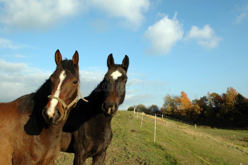 Dois cavalos. foto de stock
