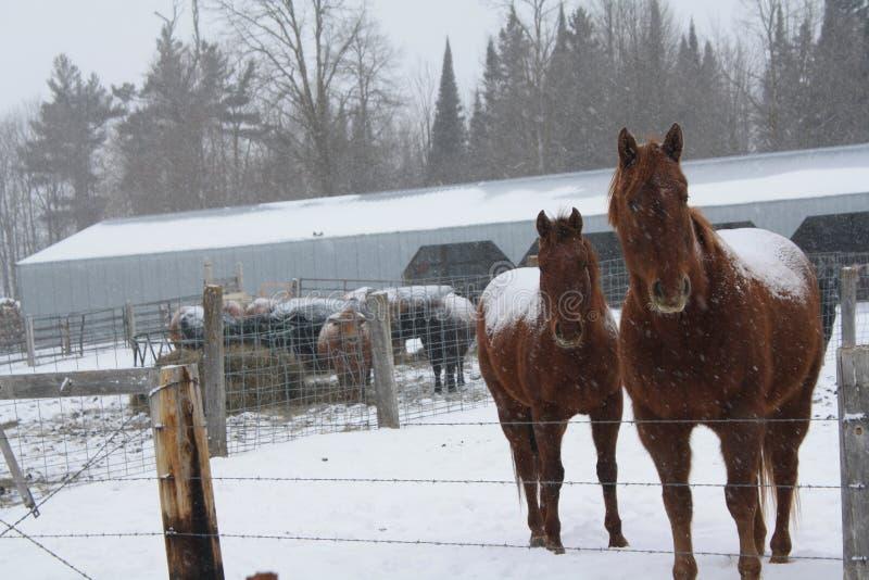 Dois cavalos! fotos de stock royalty free