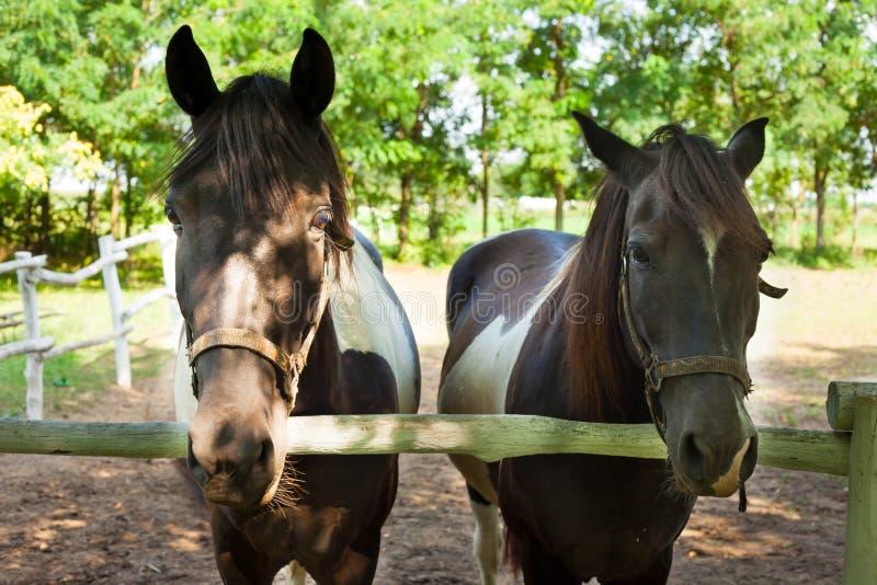 Dois cavalos atrás da cerca imagens de stock royalty free