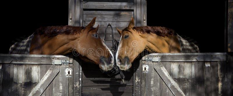 Cavalos no amor fotografia de stock