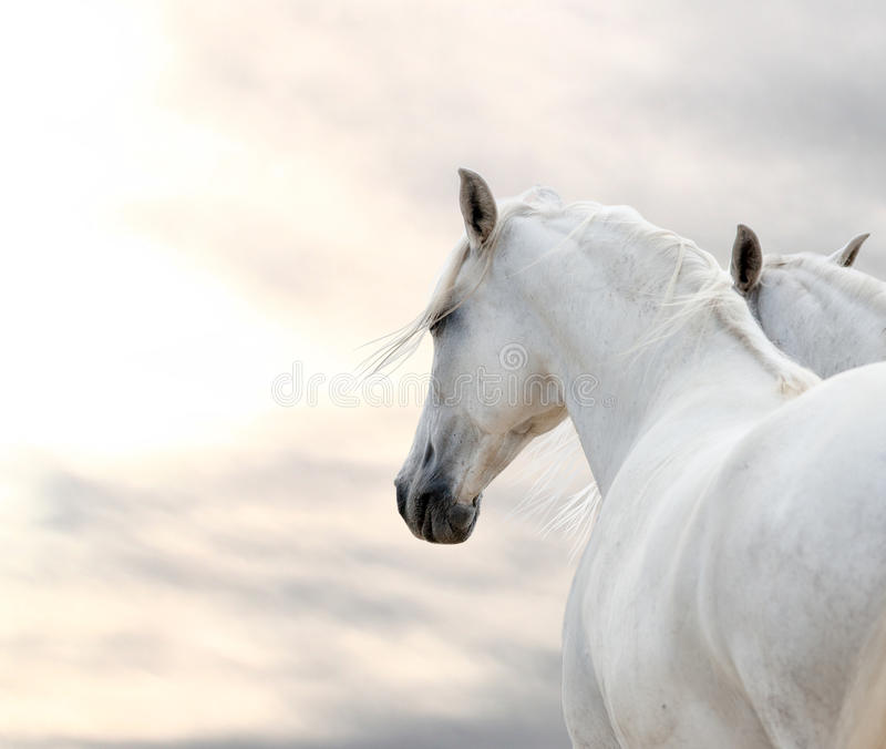 Dois cavalos brancos fotografia de stock royalty free