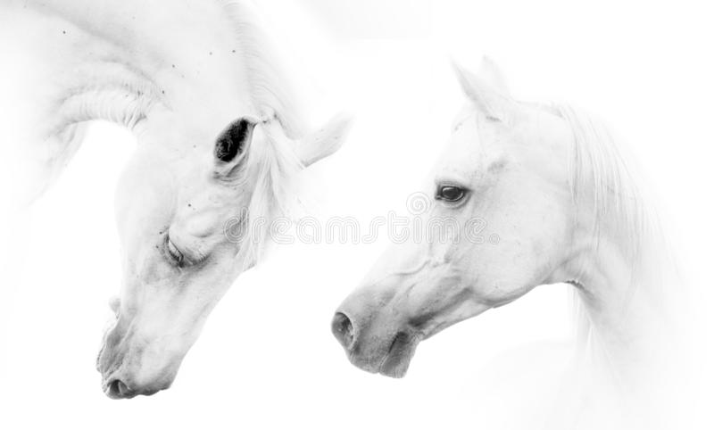 Dois cavalos brancos bonitos foto de stock