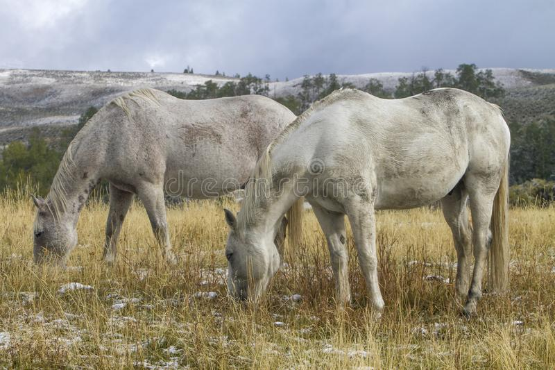 Dois cavalos brancos do rancho que pastam no pasto, Wyoming fotografia de stock royalty free