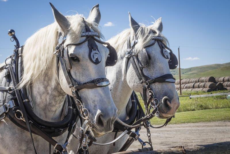 Dois cavalos brancos do trabalho que vestem seus chicotes de fios imagens de stock royalty free