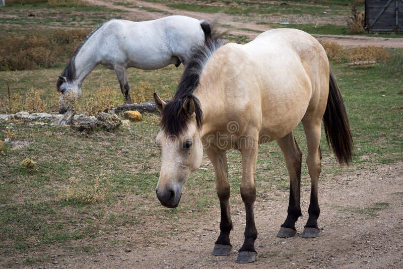 Dois cavalos brancos fora foto de stock