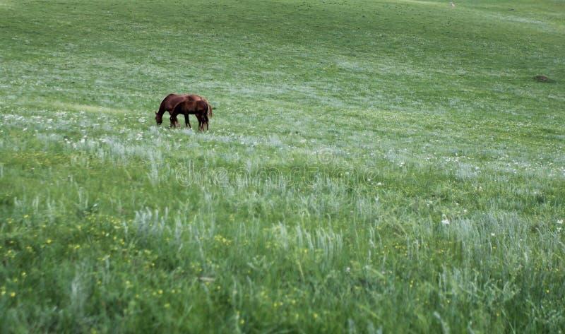 Dois cavalos comem a grama na pradaria imagens de stock
