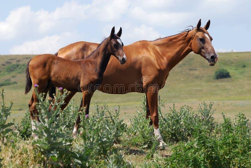 Dois cavalos do akhal-teke foto de stock