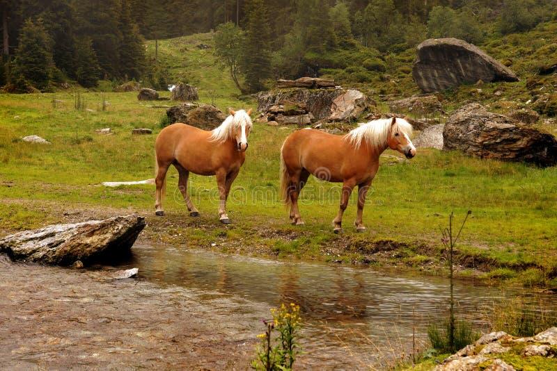 Dois cavalos do haflinger com juba loura em Tirol, Áustria fotos de stock