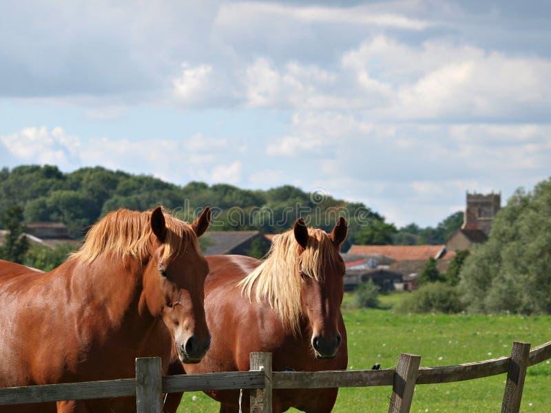 Dois cavalos do perfurador do Suffolk fotos de stock royalty free