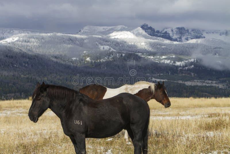 Dois cavalos do rancho de Wyoming; neve em montanhas fotos de stock royalty free