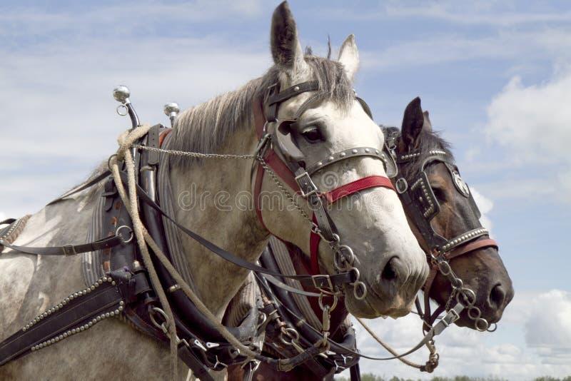 Dois cavalos do trabalho com harnes foto de stock royalty free