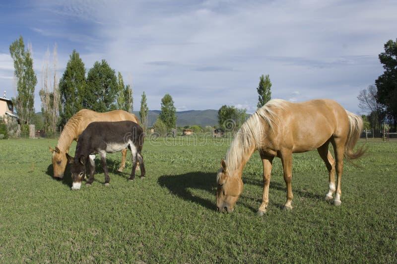 Dois cavalos e um asno foto de stock