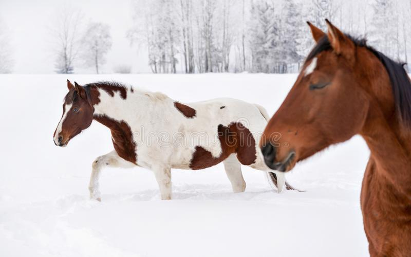 Dois cavalos em um país coberto de neve, árvores no fundo Foco em marrom branco manchado sobre fotos de stock