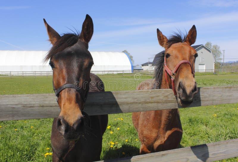 Dois cavalos em uma cerca fotos de stock royalty free