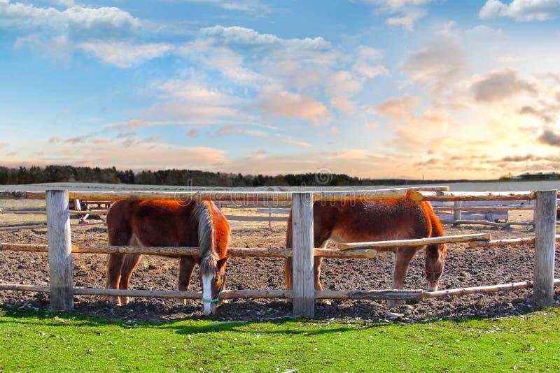 Dois cavalos em uma cerca foto de stock royalty free