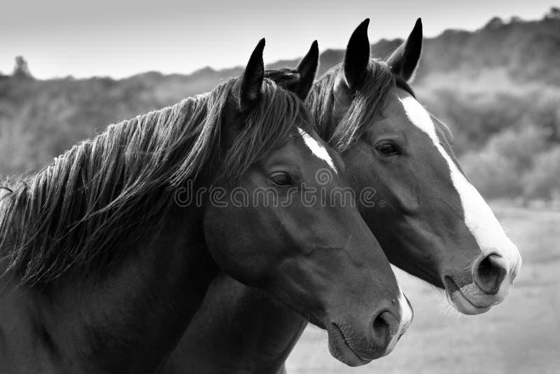 Dois cavalos magníficos. fotos de stock royalty free