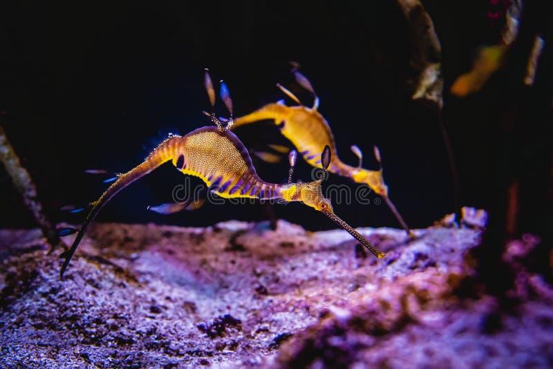 Dois cavalos marinhos que nadam em um recife de corais e que procuram o alimento no fundo do mar imagens de stock