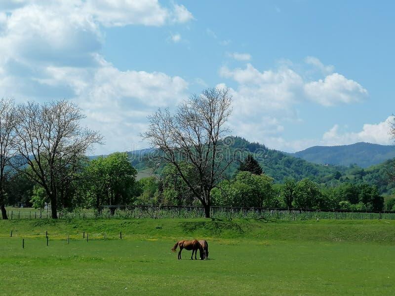 Dois cavalos marrons no prado verde, árvores, dia ensolarado, céu azul com nuvens brancas fotografia de stock
