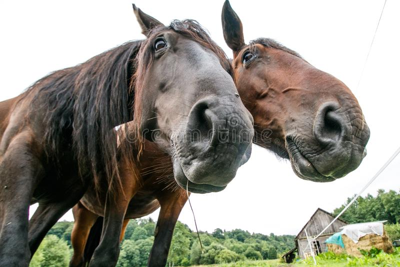 Dois cavalos no estábulo fotografia de stock royalty free