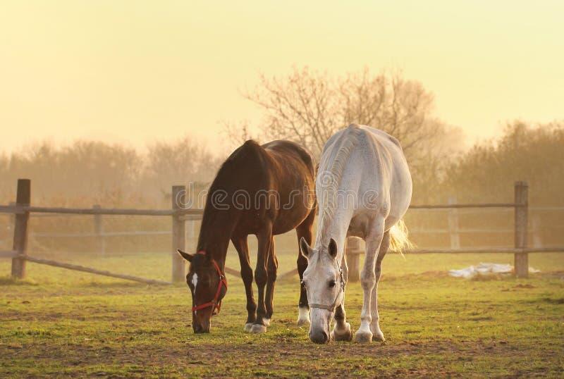 Dois cavalos no rancho fotografia de stock