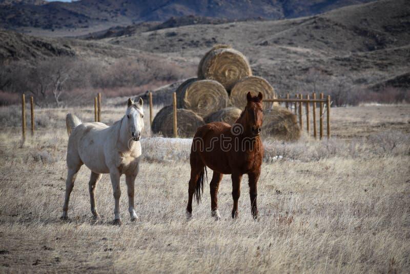 Dois cavalos no rancho em Wyoming fotografia de stock royalty free
