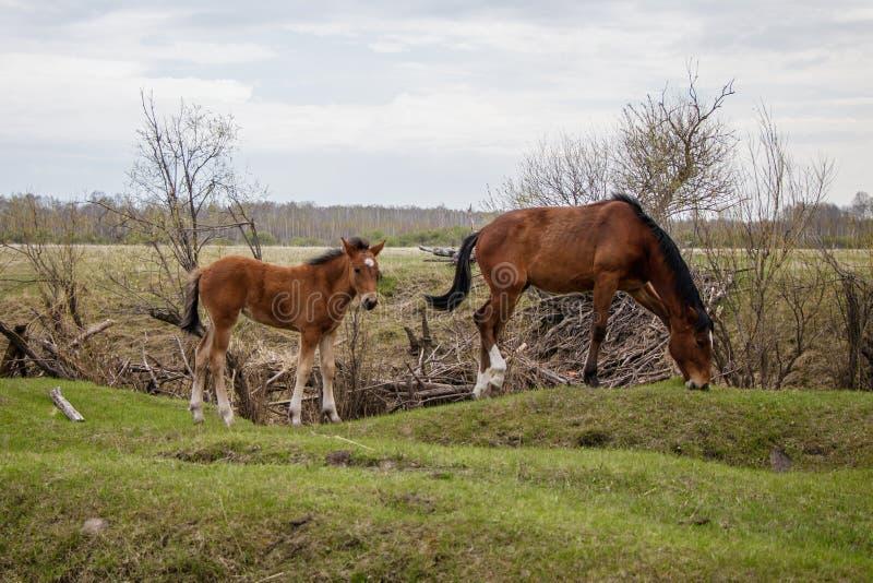 Dois cavalos novos que pastam no pasto imagens de stock royalty free