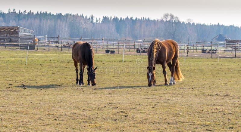 Dois cavalos pastam no prado Cavalos bonitos de Twain imagem de stock royalty free