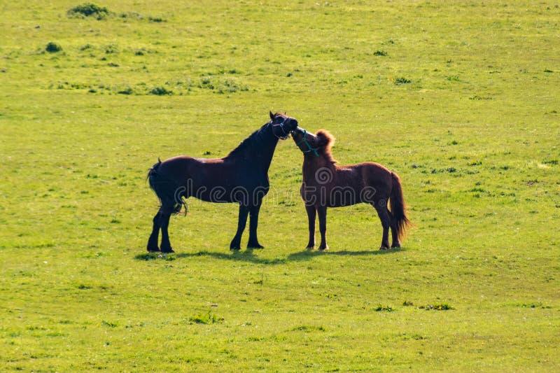 Dois cavalos pretos e beijo marrom na pastagem fotografia de stock