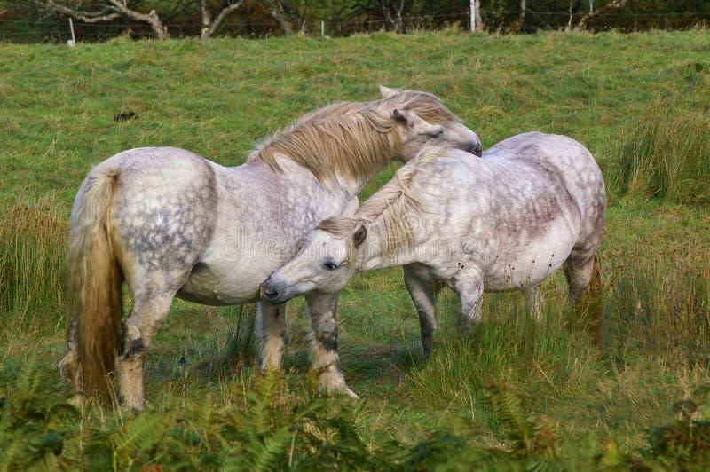 Dois cavalos que acariciam-se imagem de stock