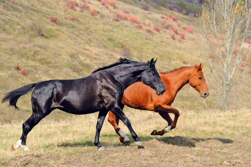 Download Dois Cavalos Que Galopam No Campo Foto de Stock - Imagem de rebanho, gallop: 16867654